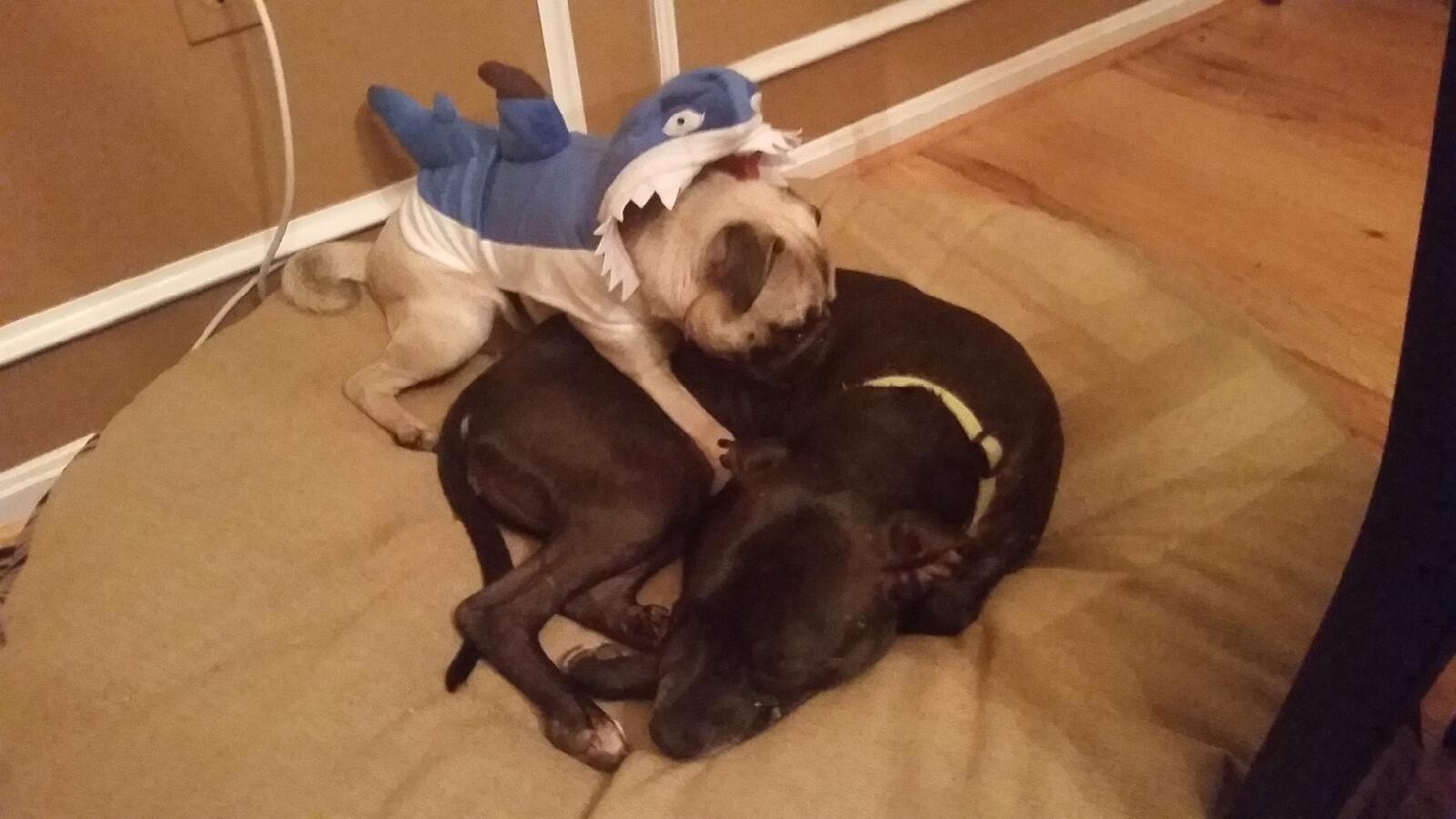 Pudge the Pug (in a shark costume) and Zoey, the ferocious pitbull.